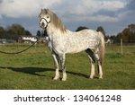 Nice Welsh Mountain Pony...