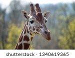 portrait of rothschild giraffe  ... | Shutterstock . vector #1340619365