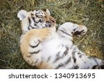 Adorable Sleeping Tiger Cub...