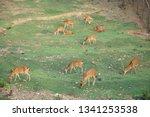 group of deer feeding grass in... | Shutterstock . vector #1341253538