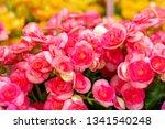 pink cyclamen flower garden | Shutterstock . vector #1341540248