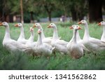 A flock of geese. white and...