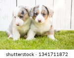 monthly puppies of a corgi sit... | Shutterstock . vector #1341711872