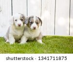 monthly puppies of a corgi sit... | Shutterstock . vector #1341711875