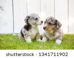 monthly puppies of a corgi sit... | Shutterstock . vector #1341711902