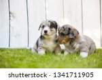 monthly puppies of a corgi sit... | Shutterstock . vector #1341711905