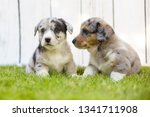 monthly puppies of a corgi sit... | Shutterstock . vector #1341711908