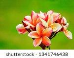 Desert Rose Orange Ping...