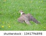 A Portrait Of A Lanner Falcon...