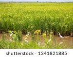 Small photo of group of little egret, Egretta garzetta, quibbling and fishing in shallow pond between the rice fields