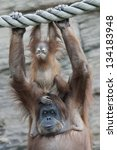 Stock photo unchildish expression of an orangutan baby on his mother 134183948
