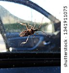 western conifer seed bug ... | Shutterstock . vector #1341911075