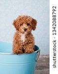 Fluffy Redhead Bichon Poodle...