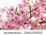 kawazuzakura of sakuma dam... | Shutterstock . vector #1342153925