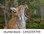 close up portrait of yawning...   Shutterstock . vector #1342255745