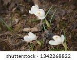 beautiful white crocus flowers...   Shutterstock . vector #1342268822