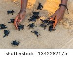 endangered young baby turtles... | Shutterstock . vector #1342282175