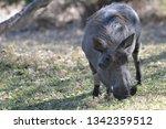 warthog in the wild   Shutterstock . vector #1342359512