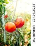 growing tomatoes on a branch....   Shutterstock . vector #1342415285