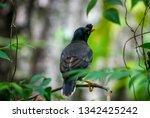 jungle myna bird. captured in... | Shutterstock . vector #1342425242