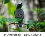 jungle myna bird. captured in... | Shutterstock . vector #1342425245