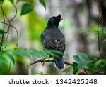 jungle myna bird. captured in... | Shutterstock . vector #1342425248