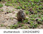 cuba   hutia eating crabs   Shutterstock . vector #1342426892