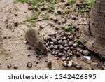 cuba   hutia eating crabs   Shutterstock . vector #1342426895