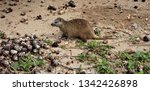 cuba   hutia eating crabs   Shutterstock . vector #1342426898