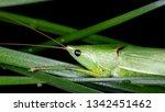 coneheads  subfamily...   Shutterstock . vector #1342451462