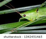 coneheads  subfamily...   Shutterstock . vector #1342451465