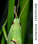 coneheads  subfamily...   Shutterstock . vector #1342451468