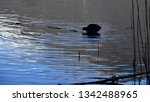 coot creates cicle waves in the ...   Shutterstock . vector #1342488965