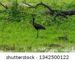 open billed stork in luangwa...   Shutterstock . vector #1342500122