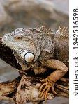 huge adult iguana resting in...   Shutterstock . vector #1342516598