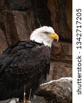 Bald Eagle Perched On A Rocky...