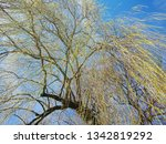 "close view of a weeping willow ""... 