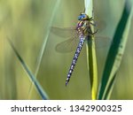 colorful male hairy dragonfly ... | Shutterstock . vector #1342900325