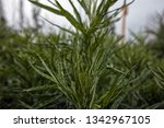green plant  close up. | Shutterstock . vector #1342967105