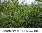 green plant  close up. | Shutterstock . vector #1342967108