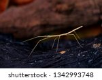 stick insect or phasmids ... | Shutterstock . vector #1342993748