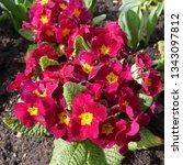 Small photo of Red Flowering Primula Crescendo Wine Plant