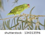 Small photo of Red-crowned Parrot (Amazona viridigenalis) perched in a tree- Brownsville, Texas