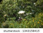 white thistle flower  close up. ... | Shutterstock . vector #1343158415
