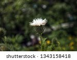 white thistle flower  close up. ... | Shutterstock . vector #1343158418