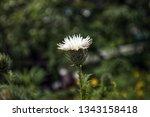 white thistle flower  close up. ... | Shutterstock . vector #1343158418