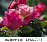 Stock photo roses 134317745