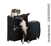 Stock photo excited purebred cat and border collie dog stand near luggage isolated over white background with 1343354342