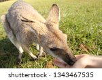Small Red Necked Wallaby Eatin...