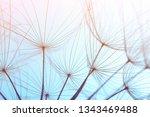 dandelion seeds on color...   Shutterstock . vector #1343469488